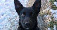 Cinder is a Black Lab x, female, puppy