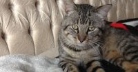 Lynx is a Tabby cat, male, 1 year old, neutered