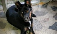 Lily is a Collie / Shepherd cross, female, 3 years old
