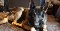 Shadow is a purebred German Shepherd, 1.4 years old, female