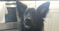 Sadie is a Collie cross, 3 years old, ~45 lbs., female