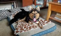 ADOPTION PENDING... Maya is a Collie x, female, approx. 10 month old, ~ 30lbs.