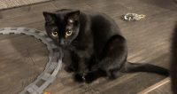 Coco is a black domestic cat, female, young