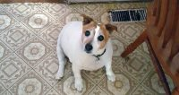 ADOPTION PENDING... Caesar is a Jack Rusell, 11 years old, male