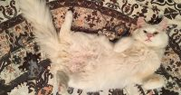 Blizzard is a white Turkish Angora, 6 month old, male