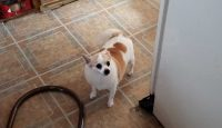 Ginger is a chihuahua / pomeranian / terrier cross, 8 years old