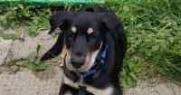 Beasly is a Rotti cross, male, puppy