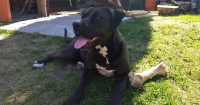 Luna is an American Bulldog / Mastiff cross, 5 years old, female, 88 lbs