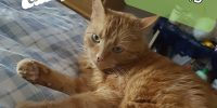 Norris, Orange domestic cats, male, ~5 years old