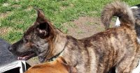 Mocha is a Mastiff / Shepherd cross, 1 year old, female