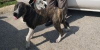 Nitro is a Brindle Mountain Cur cross, male, ~9 month old