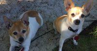 Niki is a Chihuahua/Rat Terrier x, fem, 7 yrs, 5 lbs. Lexi is a Rat Terrier, fem, 10 yrs old, 9 lbs
