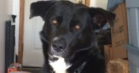 Tyson is a Collie/Lab cross, approximately 2.5 years old, male
