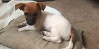 Sierra is a Dachshund / Ireland Jack Russell cross puppy, female
