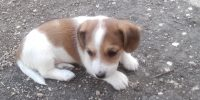 Adoption Pending Galan is a Dachshund / Ireland Jack Russell cross puppy, male