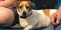 Penny is a Dachshund / Ireland Jack Russell cross