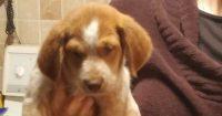 Ozzie is an Australian cattle / Beagle cross, male, puppy