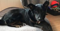 Lily is a Collie cross, female, 3 years old