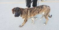 Charlie is a Lab / Mastiff cross, 8 month old, male