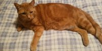 Chuck, Orange domestic cats, male, ~5 years old