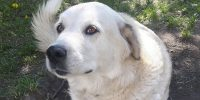 Keyta is a 3-legged, Lab / LGD, 8 years old, female