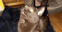 Noire is a tabby kitten, Dark grey in color, male