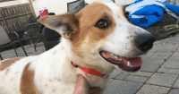 Sophie is an Australian cattle / Collie cross, female, 2 years old, 30 lbs.