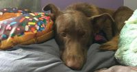 Mocca is a Chocolate Lab Retriever cross, 1 year old, female