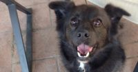 Pepper is a Finnish Spitz cross, male, 27 lbs., 4 years old
