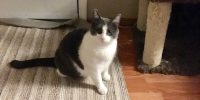 ADOPTION PENDING... Oreo is an indoor only cat, will be approximately 2 years old