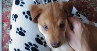 Perth is an Australian cattle / Beagle cross, female, puppy