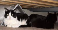 Peeka is a domestic black & white cat, 11 years old, female