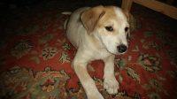 Marla is an Australian cattle / Beagle cross, female, puppy