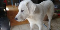 Chase is a Lab / Great Pyrenees cross, Pup