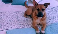 Remie is a Boxer / Lab cross, 2 years old, female