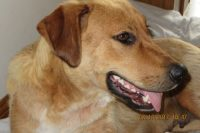 Goldie is a Lab cross, ~ 2 years old, female