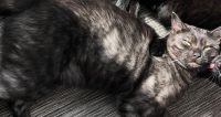 Rocky is a brindle domestic cat, male, young