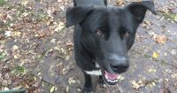 Tyson is a Lab / Collie cross, ~1 year old, male,
