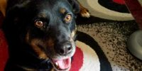 Nike is Rottweiller x, 8 years old, female