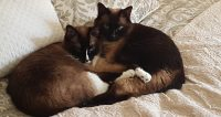 Siamese / seal point crosses sisters/littler mates, 6 years old