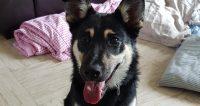 Winnie is a Husky cross, female, 5 month old puppy, 11 kg