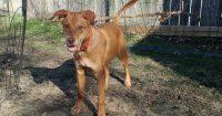 Taz is a Australian Cattle/Beagle Cross, male, puppy